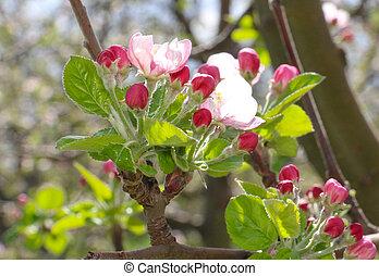 rosa, äpple, blomstringar, in, april