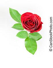 rosa, único, branco vermelho, experiência.