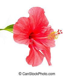 rosa, ハイビスカス, 花, sinensis