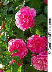 rosa, 37