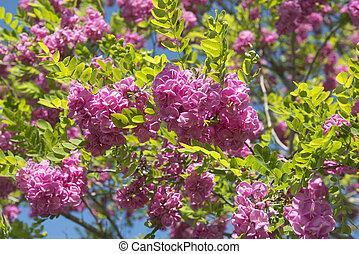 rosa, acacia