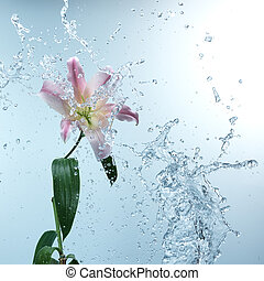 rosa, acqua schizza, giglio, giorno, fresco