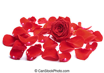 rosa, aislado, rojo, pétalos