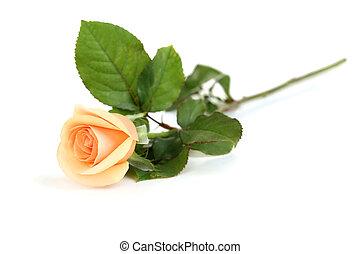 rosa alaranjada, isolado, ligado, um, branca