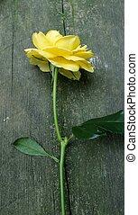 rosa, amarela, caule, madeira, longo, fundo