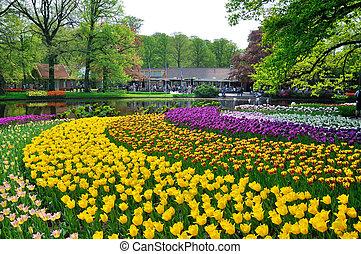 rosa, amarillo, púrpura, y, blanco, tulipanes, en,...