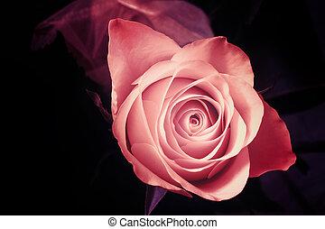 rosa, astratto