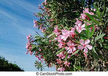 rosa, azul, oliander, flores, blosom, hermoso, cielo