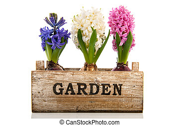 rosa, azul y blanco, jacinto, en, cajón de madera