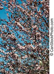 rosa, bello, fioritura, arte, ciliegia, blossom., fondo., albero., fiori primaverili, multa, foto