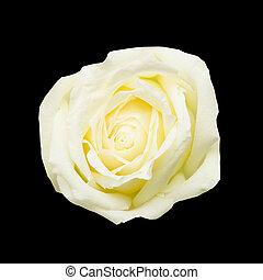 rosa bianca, su, sfondo nero