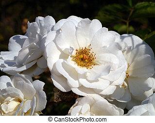 rosa, bianco