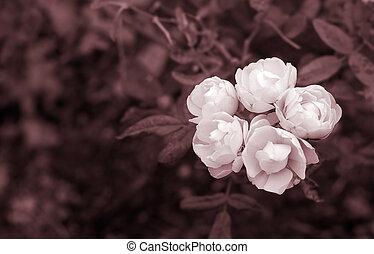 rosa, bianco, cinque, neve