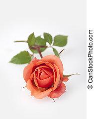 rosa, bianco, fondo.