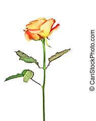 rosa, bianco, isolato, fondo