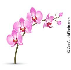 rosa, bianco, isolato, ramo, orchidea