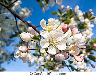 rosa, bianco, mela, granchio, fiori