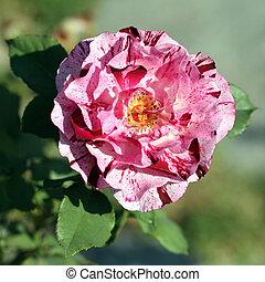 rosa, bicolor
