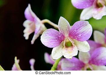 rosa, ), (, blätter, grüner hintergrund, blumen, dendrobium, orchidee