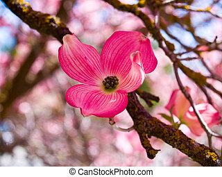 rosa fruehjahr wald hartriegel bl ten sch ne rosa stockfoto fotografien und clipart. Black Bedroom Furniture Sets. Home Design Ideas