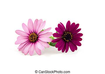 rosa blüten, zwei, gänseblumen