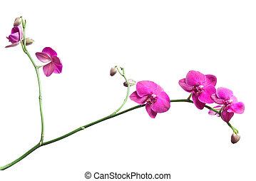 rosa, blanco, aislado, rama, orquídea