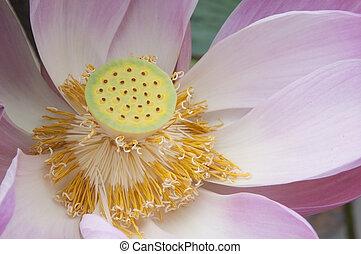 rosa blomma, uppe, vatten, nära, lilly