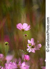rosa blommar, bakgrund