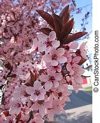 rosa Blueten im Fruehling