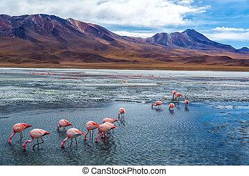 rosa, bolivia, flamingoes