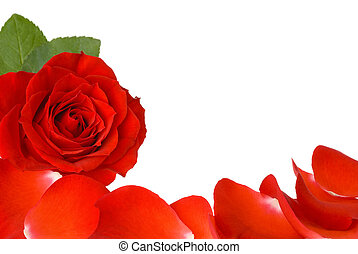 rosa, borda, vermelho, pétalas