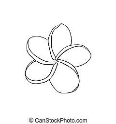 rosa, bosquejo, flor, frangipani, solo, ilustración,...