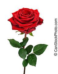 rosa, branca, abertos, vermelho