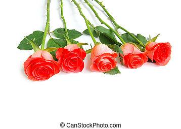 rosa, branca, isolado, fundo