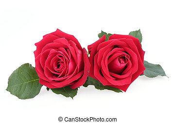 rosa, branca, isolado, fundo, vermelho