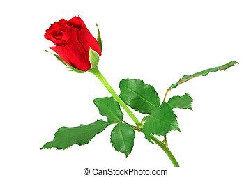 rosa, branca, isolado, vermelho