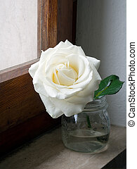 rosa branca, ligado, peitoril janela, em, vidro, jarro., rosto, para, a, sunight.