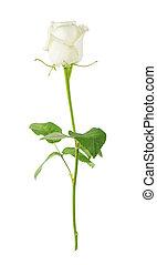 rosa branca, ligado, um, fundo branco
