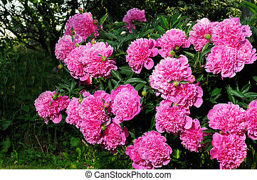 rosa, busch, pfingstrose
