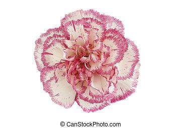 rosa, cabeza, flor, plano de fondo, clavel, blanco