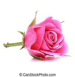 rosa, cabeza, flor, rosa, aislado, plano de fondo, blanco, recorte