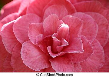rosa, camelia
