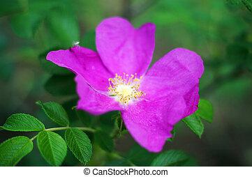 rosa, cane, su, selvatico, chiudere, fiori