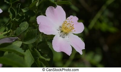 Pink flower of a dog rose on green background