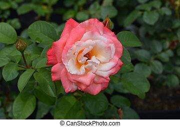 rosa, casta, laetitia