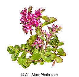 rosa, causticola, planta, flores, sedum