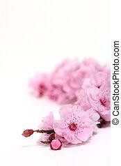 rosa, cereza, campo, profundidad, flores, primavera, extremo