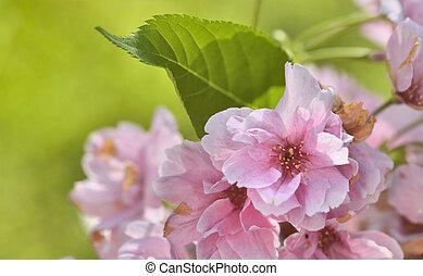 rosa, cereza, flores, árbol, primavera