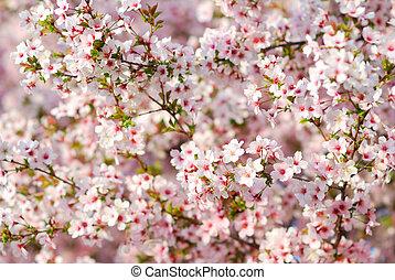rosa, cerezo, flores, en, primavera