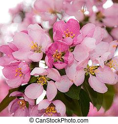 rosa, ciliegia, blossoms.